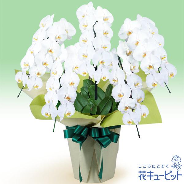 【花鉢(お供え胡蝶蘭)】お供え胡蝶蘭 5本立(開花輪白50以上)仏前に長く飾ることができる、日持ちの良い胡蝶蘭です。