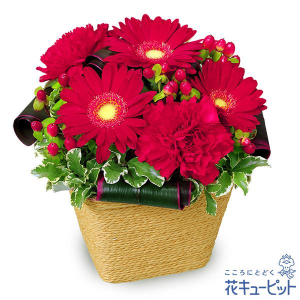 【お祝い】赤ガーベラのアレンジメント鮮やかな赤に深い気持ちを込めて
