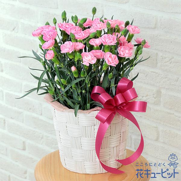 【母の日ギフト】カーネーション鉢(ピンク)ナチュラルで可愛らしいカーネーションの鉢植え