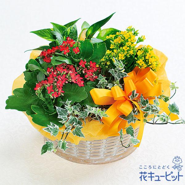 【敬老の日フラワー】カランコエの寄せ鉢花言葉は「長く続く愛」。これからも一緒に笑い合いたいあの人へ