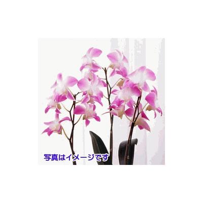【花鉢(胡蝶蘭・洋蘭)】洋蘭鉢物華やかさをもつ洋蘭・季節の蘭花鉢