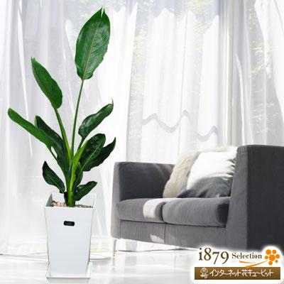 【産直 観葉植物(通年)】ストレチアレギネ(白鉢)細長いスマートな葉が特徴で、ちょっとした場所にも置けます!