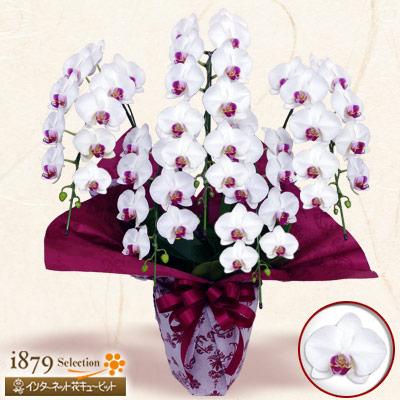 【モテギ洋蘭園胡蝶蘭・お祝い】ミディ胡蝶蘭 白赤リップ 5本立ち(46輪前後)上品な花姿とボリュームは贈り物にふさわしい逸品です。