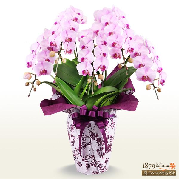 【モテギ洋蘭園胡蝶蘭・お祝い】ミディ胡蝶蘭 ピンク 5本立ち(46輪前後)花並びが良く、綺麗なラインの花並びが特徴。