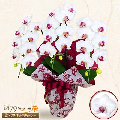 【モテギ洋蘭園胡蝶蘭・お祝い】ミディ胡蝶蘭 タイアン3本立(30輪前後)上品な花姿とボリュームは贈り物にふさわしい逸品です。