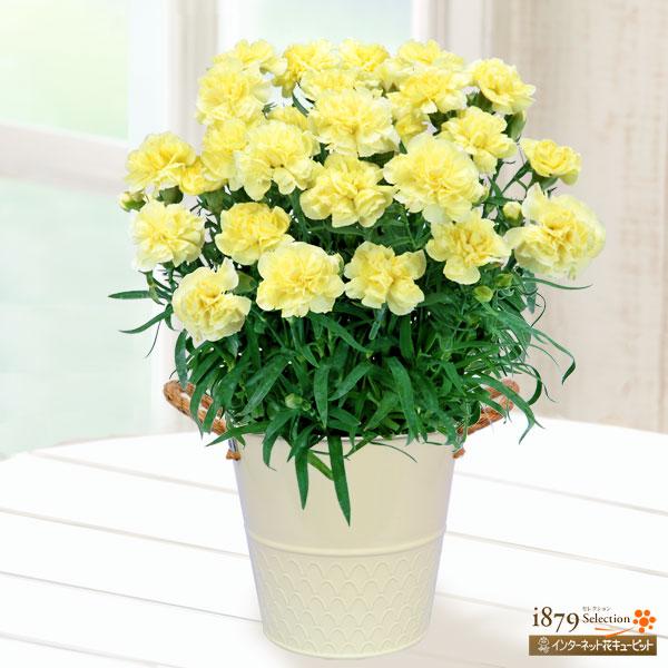 【母の日産直ギフト】幸せの黄色カーネーション鉢見ているだけで明るく元気になれる、イエローカーネーション♪