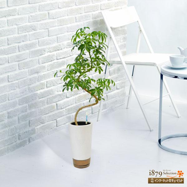【産直 観葉植物(通年)】カポックコンパクター(白鉢)手のひら状に広がる、丸みのある葉がかわいい観葉植物