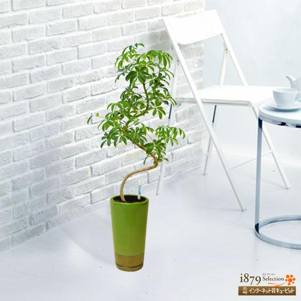 【産直 観葉植物(通年)】カポックコンパクター(緑鉢)鮮やかなグリーンでお部屋に癒しを