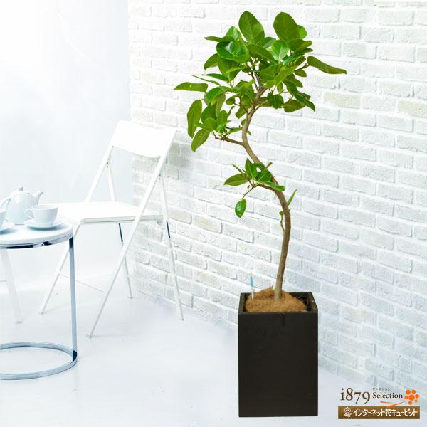 【産直 観葉植物(通年)】アルテシマ(黒鉢)高さのある鉢カバーとセットで。斑入りの葉が美しい植物です