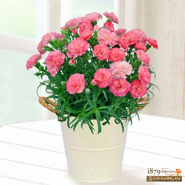 【母の日産直ギフト】幸せの複色カーネーション(ピンク)ピンクと白のグラデーションが優しい複色カーネーション