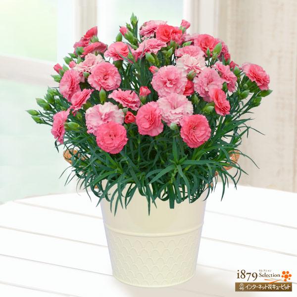 【母の日産直ギフト】幸せの色変わりカーネーション(ピンク)一鉢でピンクのグラデーションが楽しめる色変わりカーネーション