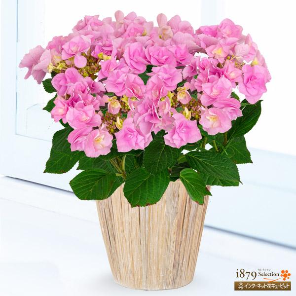 【母の日産直ギフト】母の日あじさい フェアリーアイバラの様な幾重にも重なった花が特徴。根強い人気商品!