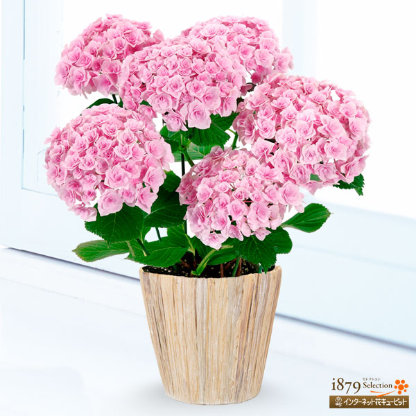 【母の日産直ギフト】母の日あじさい フェアリーキッスとにかく『可愛い』♪花弁強く長く楽しめる逸品!