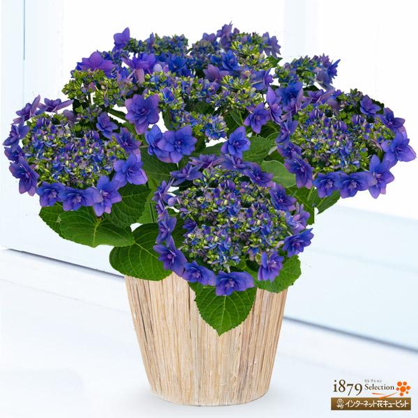 【母の日産直ギフト】母の日あじさい ヒミコ(ブルー)上品な色合いで幾重にも重なった花びらのあじさい。