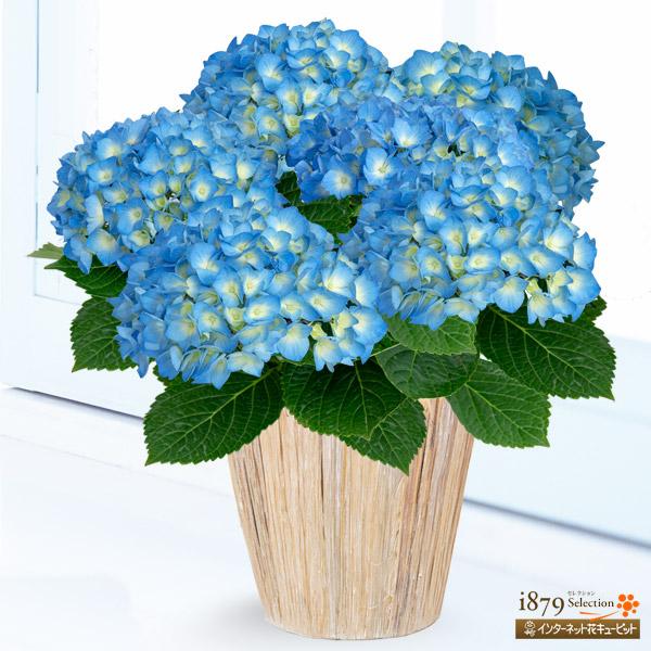 【母の日産直ギフト】母の日あじさい ブルーダイヤモンド透き通るような涼しい青色は、まさにブルーダイヤ!