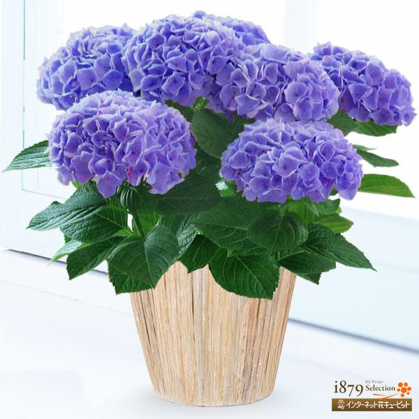 青・紫系の花鉢|母の日プレゼント特集2019
