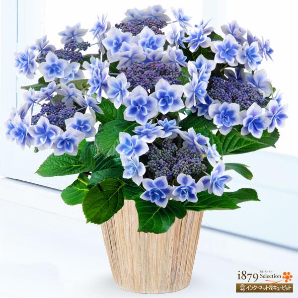 【母の日産直ギフト】母の日あじさい コンペイトウ(ブルー)金平糖のように、かわいい花が特徴の「コンペイトウ」
