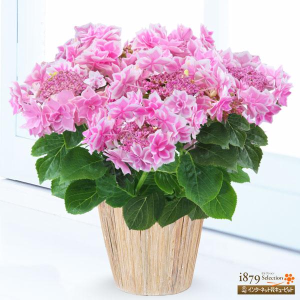 【母の日産直ギフト】母の日あじさい コンペイトウ(ピンク)金平糖のように、かわいい花が特徴の「コンペイトウ」