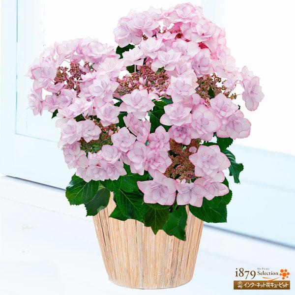 【母の日産直ギフト】母の日あじさい ピンキーリング濃いピンクの縁取りが華やかなあじさい