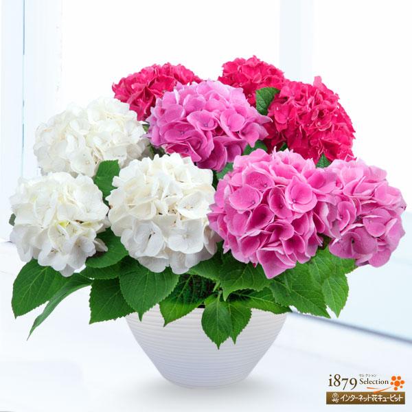 【母の日産直ギフト】母の日あじさい3色寄せ(赤・ピンク・白)華やかさが人気のあじさい寄せ植え