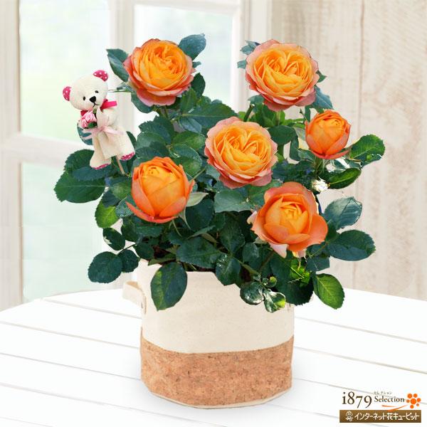 【母の日産直ギフト】バラ ベビーロマンティカ(クマのピック付き)かわいいクマのピック付き!コロンとした可愛い花形が人気!