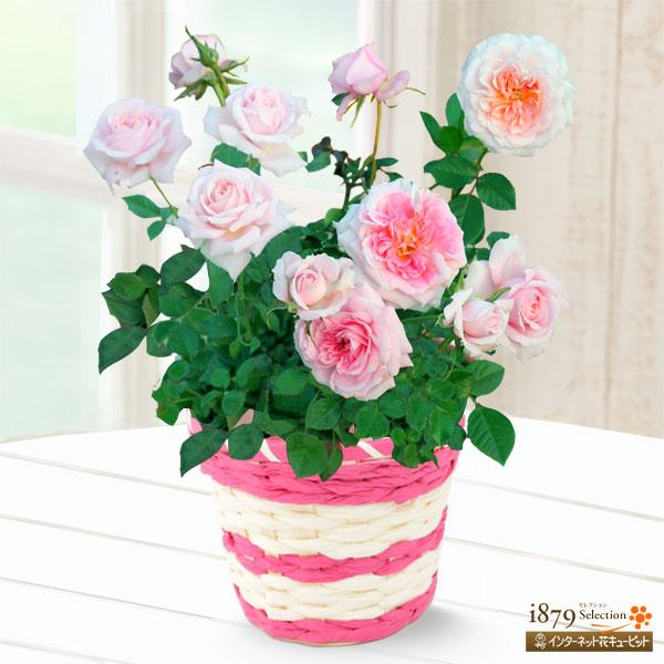 【母の日産直ギフト】バラ レディメイアンディナ淡いピンクの可愛らしいミニバラ
