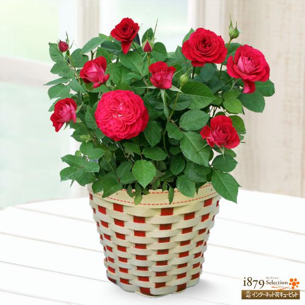 【母の日産直ギフト】バラ スカーレットオベーション母の日にぴったり!想いの伝わる赤バラ♪
