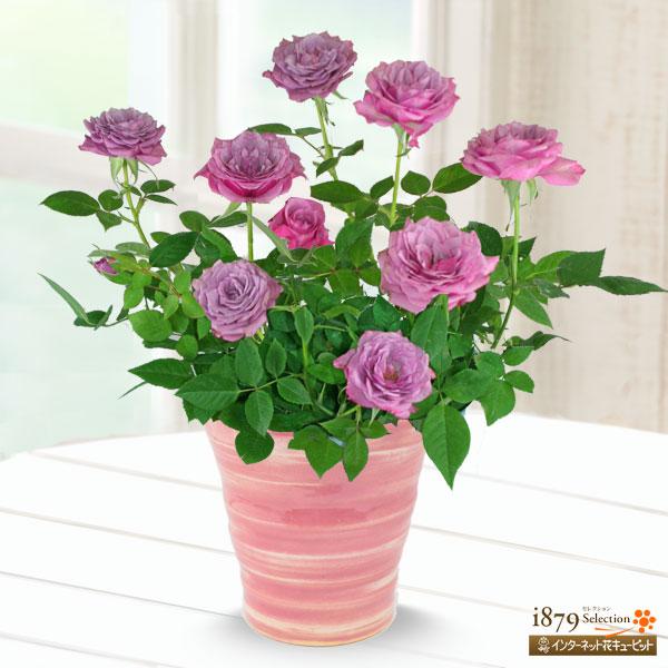 【母の日産直ギフト】バラ ブルーオベーション上品で神秘的な花色は、母の日のギフトにピッタリ