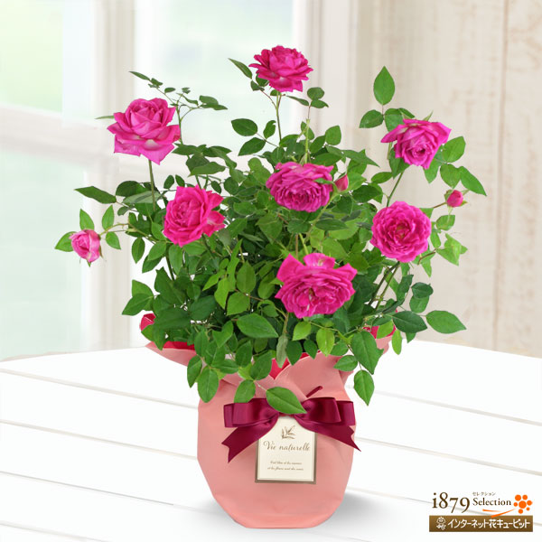 【母の日産直ギフト】バラ オーバーナイトセンセーション香りの良さが自慢!美しさと香りのプレゼントをお母さんへ