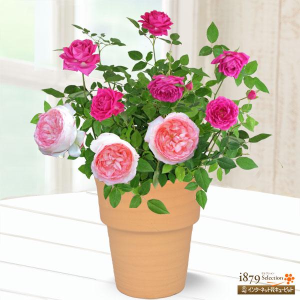 【母の日産直ギフト】バラ オーバーナイトセンセーション&ホワイトピーチ母の日にぴったりな上品なミニバラの寄せ植え