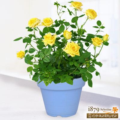 【父の日産直ギフト】バラ スウィートダイアナ 鉢カバー(陶器)可愛らしい黄色のミニバラ!