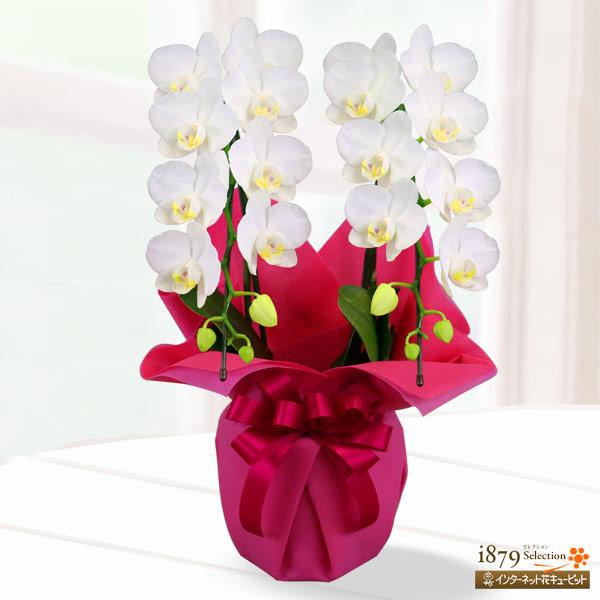【母の日産直ギフト】母の日胡蝶蘭 スーパーアマビリス2本立 ラッピング上品な花姿とラッピングが人気の胡蝶蘭
