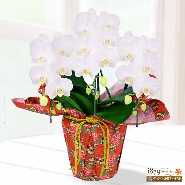 【母の日産直ギフト】母の日胡蝶蘭 アマビリス3本立 千代紙ラッピング上品な花姿の胡蝶蘭を千代紙ラッピングでお届け