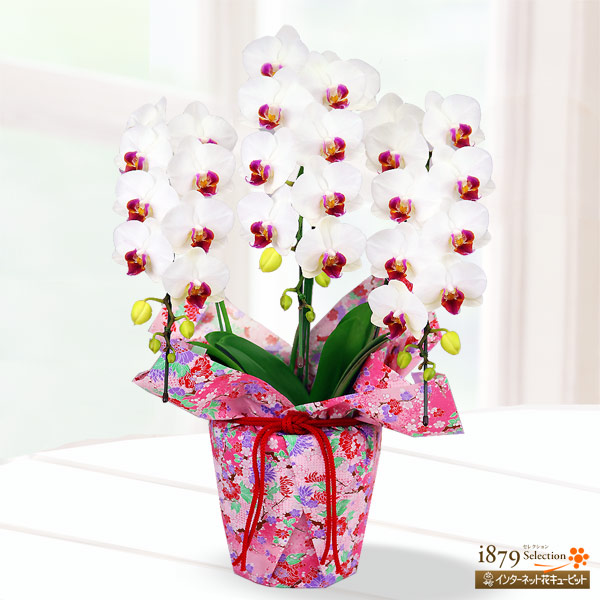 【母の日産直ギフト】母の日胡蝶蘭 白赤リップ3本立 千代紙ラッピング清楚な白と縁起の良い赤のコントラストが美しい胡蝶蘭