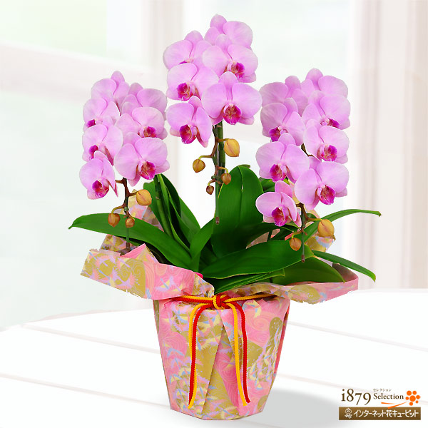 【母の日産直ギフト】母の日胡蝶蘭 ピンク系3本立 千代紙ラッピング花並びが美しい胡蝶蘭