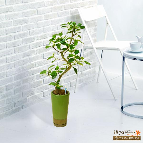【産直 観葉植物(通年)】フランスゴム(緑鉢)育てやすく人気の観葉植物。初めての観葉植物におすすめ