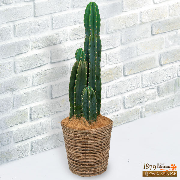 【産直 観葉植物(通年)】柱サボテン(3本立) バスケット贈りものにもご自宅用にも人気の柱サボテン