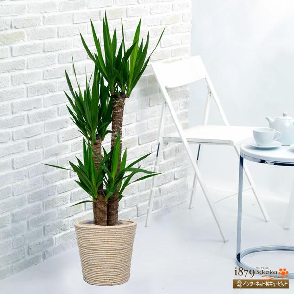 【産直 観葉植物(通年)】ユッカ(バスケット)上に向いて伸びるとがった葉がユニークな観葉植物