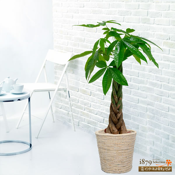 【産直 観葉植物(通年)】パキラ(バスケット・尺鉢)オーソドックスながら人気の高いパキラを尺鉢でお届け