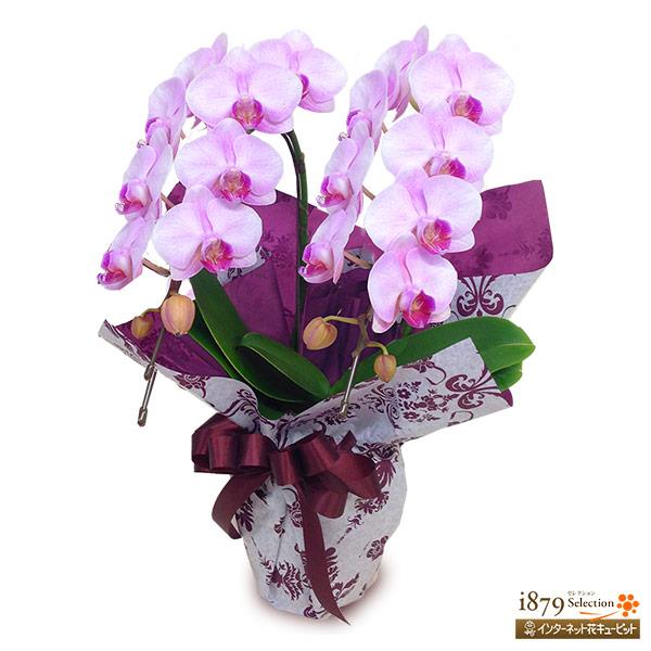 【モテギ洋蘭園胡蝶蘭・お祝い】ミディ胡蝶蘭 ピンク 2本立ち(20輪前後)花並びが良く、綺麗なラインの花並びが特徴。