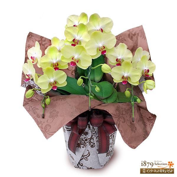【モテギ洋蘭園胡蝶蘭・お祝い】ミディ胡蝶蘭 イエロー 3本立ち(30輪前後)縁起の良いイエローの胡蝶蘭です