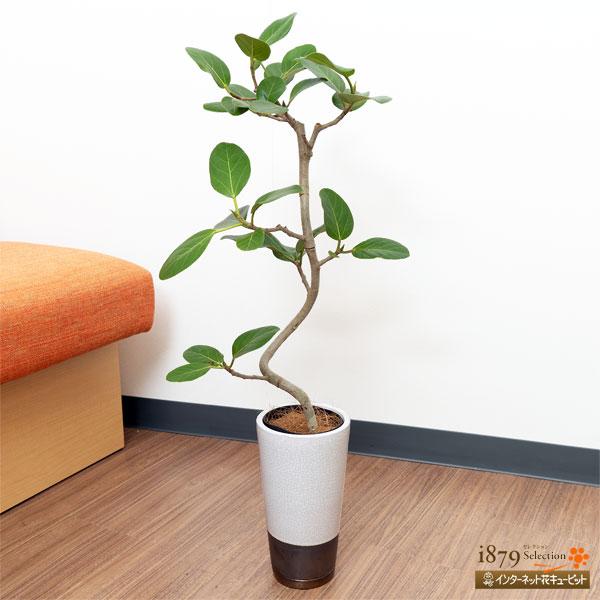 【産直 観葉植物(通年)】ベンガルゴム(白鉢)丸みのある葉がかわいらしい観葉植物