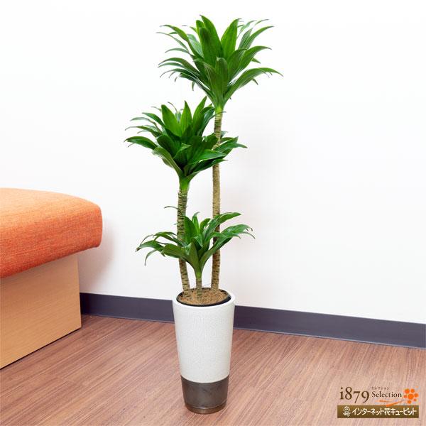 【産直 観葉植物(通年)(法人)】ドラセナコンパクター(白鉢)