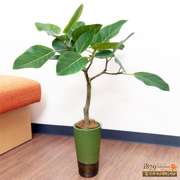 【産直 観葉植物(通年)(法人)】アルテシマ(緑鉢)