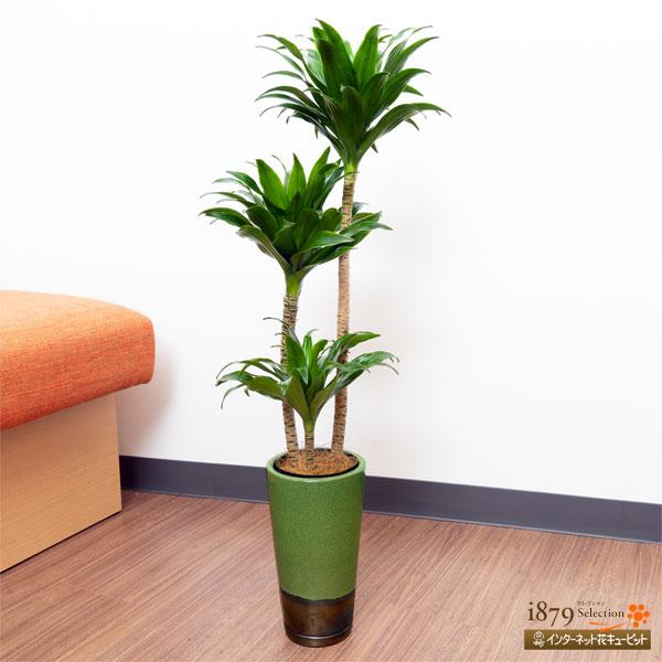 【産直 観葉植物(通年)(法人)】ドラセナコンパクター(緑鉢)