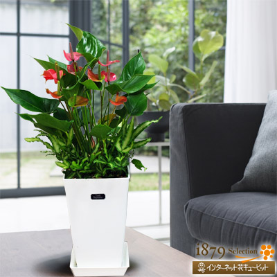 【産直 観葉植物(通年)】アンスリウムピンク(白鉢)大人気のアンスリウムピンク、ギフトにおすすめです!