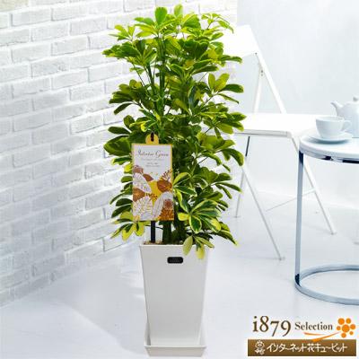 【産直 観葉植物(通年)】カポック ハッピーイエロー(白鉢)幸せの色、イエローの葉でお部屋を明るくしてくれます。