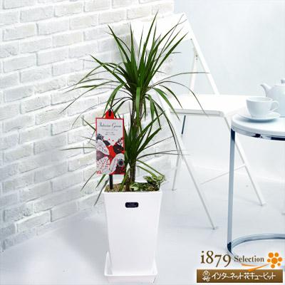 【産直 観葉植物(通年)】コンシンネ マジナータ&アイビー(白鉢)お祝いごとにおすすめ!シックな印象の「コンシンネ」