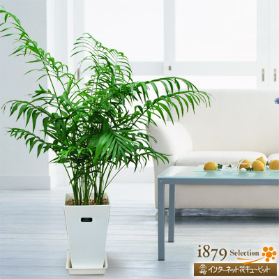 【産直 観葉植物(通年)(法人)】テーブルヤシ(白鉢)