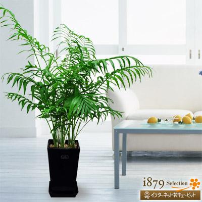 【産直 観葉植物(通年)(法人)】テーブルヤシ(黒鉢)